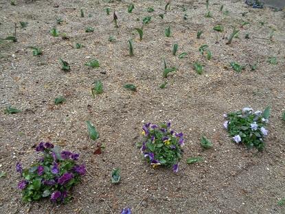 中庭のチューリップが育っています!